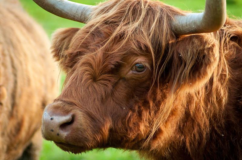 A Blonde Bull
