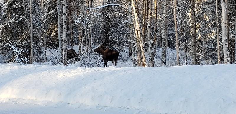 Moose off the Roadside