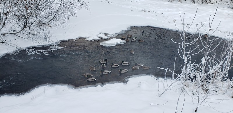 Ducks on the water near Westchester Lagoon