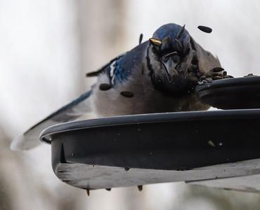 Birds feeding in the winter - Bluejay