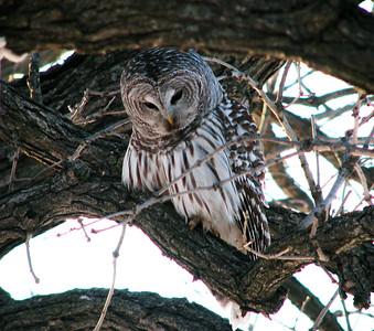 Owl in our backyard