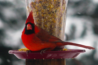 Birds feeding in the winter - Male Cardinal