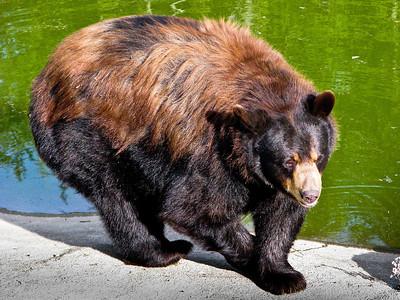 Bear (in captivity in MN)