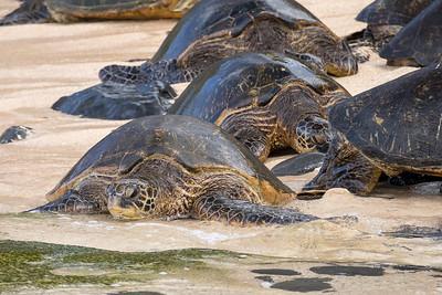 Beached Green Sea Turtles