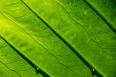 Leaf, Honolua Bay