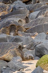 Beached Green Sea Turtles
