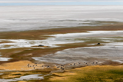 Bison, Antelope Island