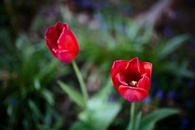 Tulips | Cambridge, MA