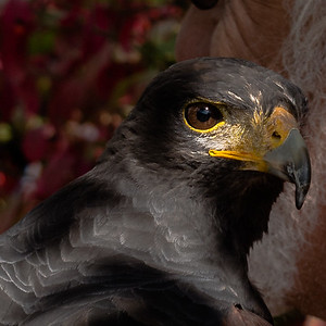 Harris Hawk  at Maryland Renaissance Faire 2016
