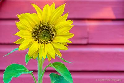 Dawn Flower, Tadoussac, QC