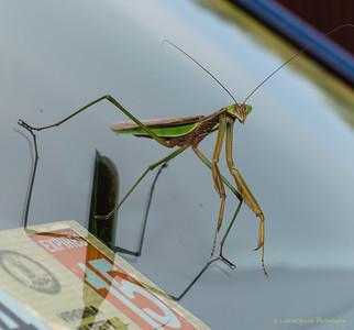 Praying Mantis Hitchingh A Ride