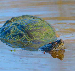 Snapping Turtle & Rose Petals