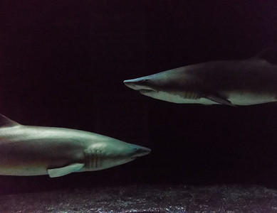 Sharks face to face.