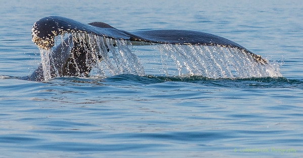 Humpback Whale Taking A Dive