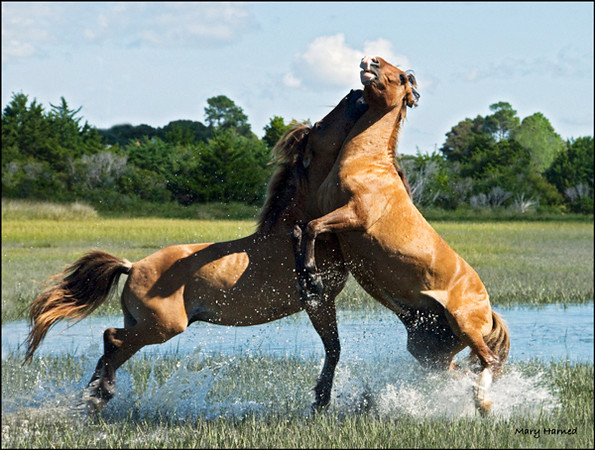 """Wild Horse Fight - 2"",  Carrot Island, NC"