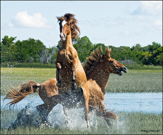 """Wild Horse Fight - 1"",  Carrot Island, NC"