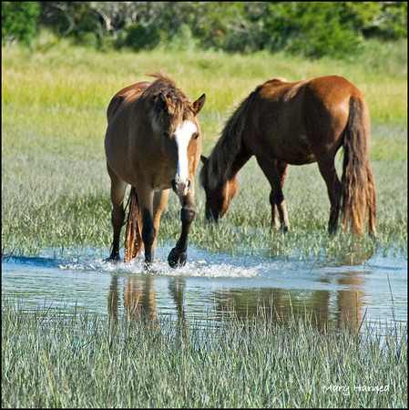 Wild Horses on Carrot Island, NC