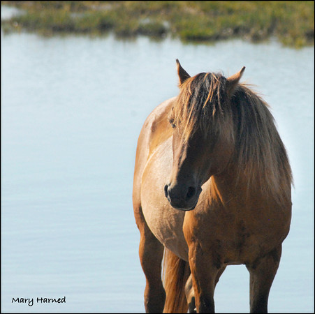 Wild Horse on Carrot Island, NC