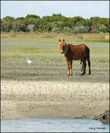 """Wild Mustang - 2"",  Shackleford Island, NC"