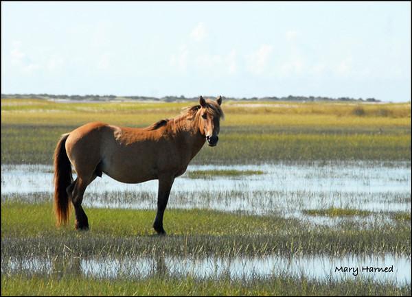 """Wild Mustang - 1"",  Shackleford Island, NC"