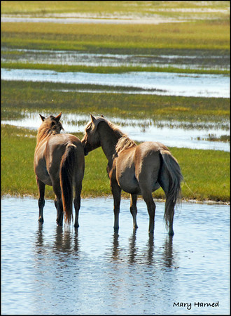 """Chatting"", Wild Horses on Carrot Island, NC"