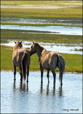 """Chatting"", Wild Horses on Carrot Island, NC"