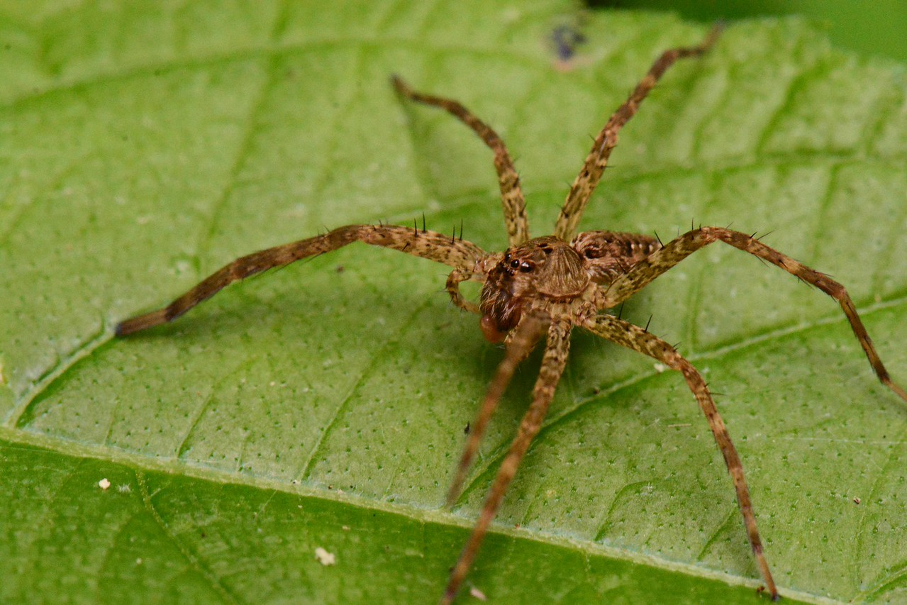 "Wolf Spider, Family Lycosidae holds at least 240 North American species in 21 genera. This one on the bank of a creek might be a member of the genus Pirata.<br /> <br /> ""For to know a wild thing is to be touched with its own magic awareness of earth and sky – to know its fire or fear, its loneliness or joy, its need to satisfy a thousand urges."" ~ John K. Terres, ""From Laurel Hill to Siler's Bog: The Walking Adventures of a Naturalist"", 1966."