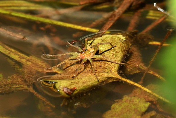 Six-spotted Fishing Spider -- Dolomedes triton