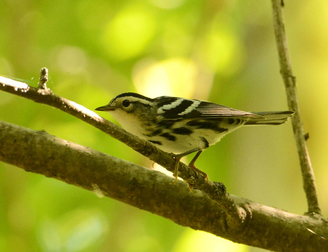 "Black-and-white Warbler (f) -- Mniotilta varia<br /> <br /> ""Things are not quite so simple always as black and white."" ~ Doris Lessing"