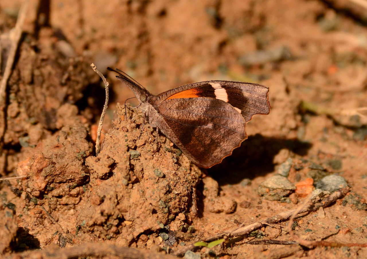 "American Snout -- Libytheana carinenta, sampling mud in the bottomlands<br /> <br /> '...If you want me again look for me under your bootsoles.' ~ Walt Whitman, ""Song of Myself"""