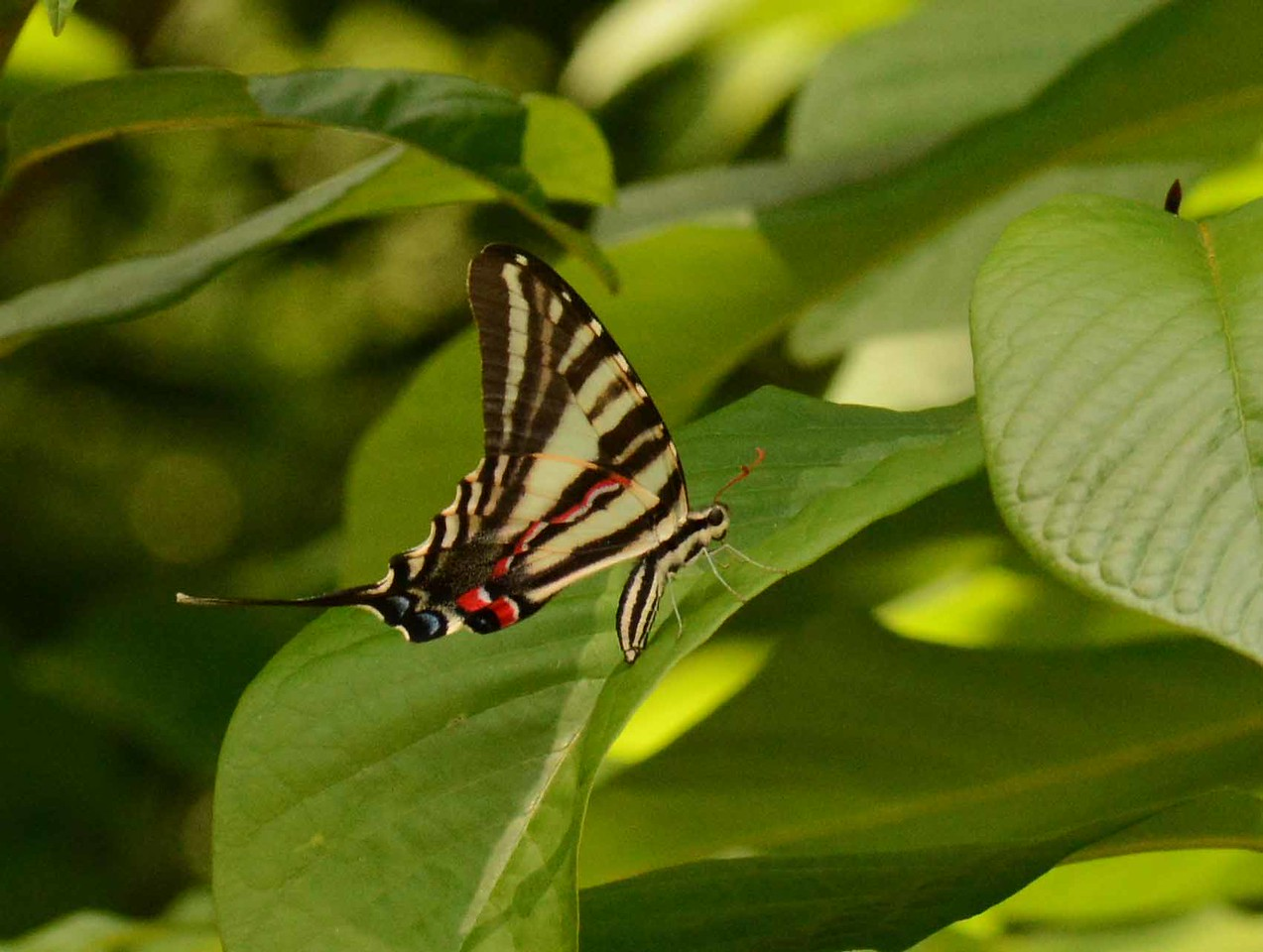 a Zebra Swallowtail -- Eurytides marcellus, lays an egg on a Pawpaw leaf<br /> <br /> Plant and animal partnerships are compacts sealed by sun and moon long before any human agreement ever stood the test of notion. Yet no treaty can exist on any tract without tree or treat as fundamental concepts. Sometimes entomology aids etymology as insects whisper about the understory.