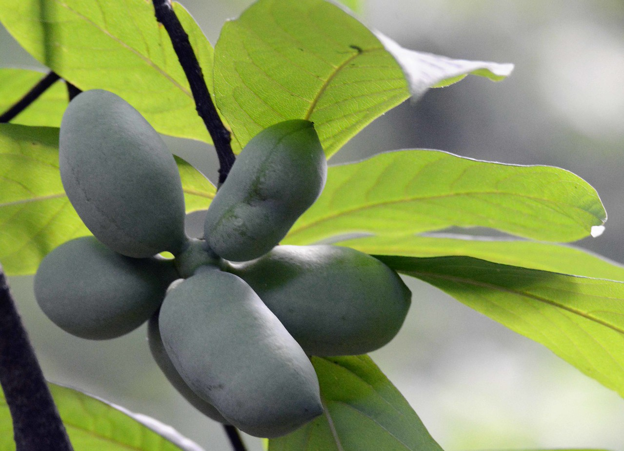 Pawpaw -- Asmina tribola, is a streamside tree whose edible fruits are largely unknown by people today despite their historical use by native and early Americans. Name derived from an Arawak word for papaya. Pick green and set for a couple of days to ripen.