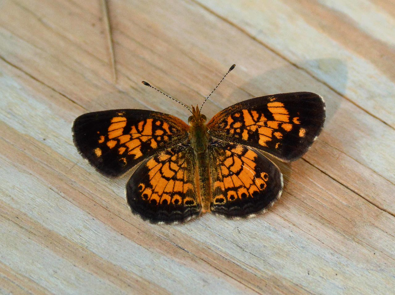 "Pearl Crescent -- Phyciodes tharos<br /> <br /> 'Who says its poetry, anyhow?<br /> My ten year old <br /> can do it AND rhyme.' ~ from ""What the Chairman Told Tom"" by Basil Bunting, 1965."