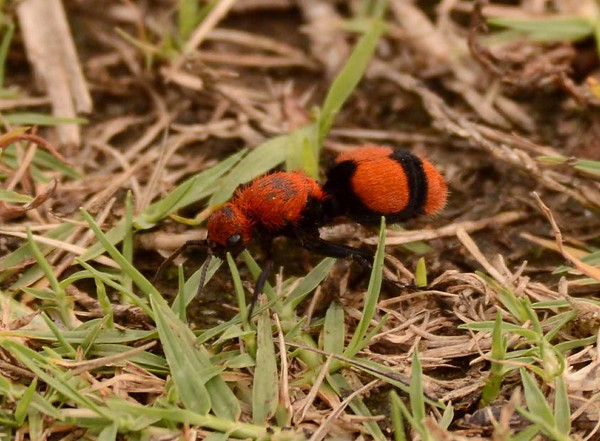 """Eastern Velvet Ant (f) -- Dasymutilla occidentalis, is not an ant but a rather fascinating wasp. The wingless females can deliver a powerful sting (aka """"cow killer"""").   """"All of earth is crammed with heaven And every bush aflame with God But only those who see take off their shoes."""" ~ Elizabeth Barrett Browning"""
