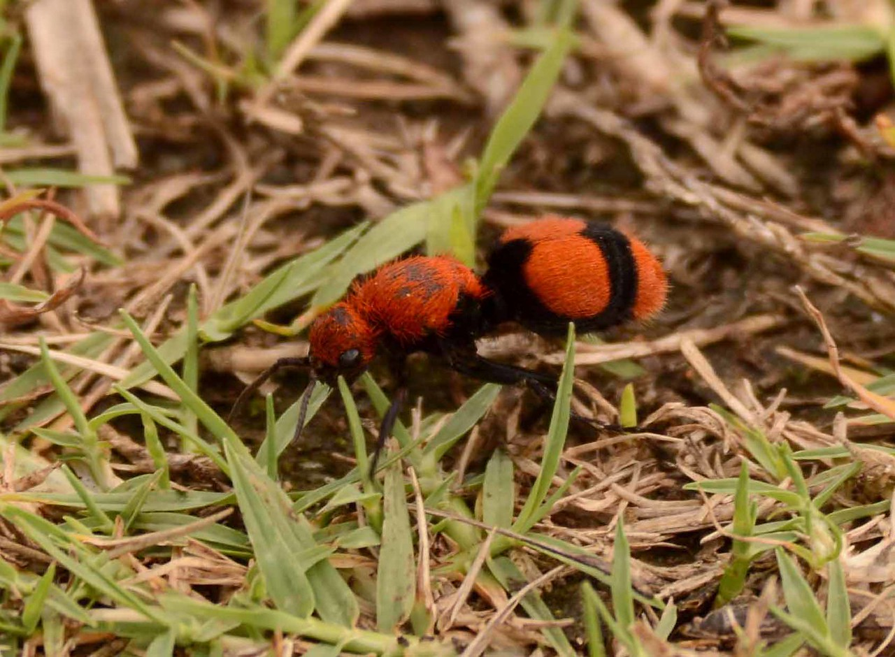 "Eastern Velvet Ant (f) -- Dasymutilla occidentalis, is not an ant but a rather fascinating wasp. The wingless females can deliver a powerful sting (aka ""cow killer""). <br /> <br /> ""All of earth is crammed with heaven<br /> And every bush aflame with God<br /> But only those who see take off their shoes."" ~ Elizabeth Barrett Browning"