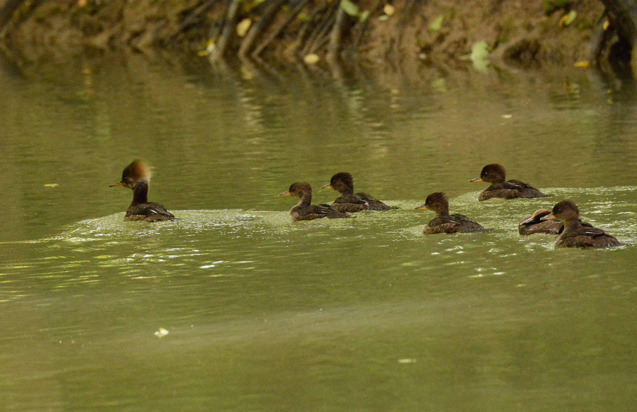 "Hooded Mergansers -- Lophodytes cucullatus -- a mother leads her young away from the nosy guy with the camera.<br /> <br /> ""I say to you that no special day should have to be set aside as Earth Day; rather every day we live should be Earth Day, demonstrated by making prudent use of the Earth and all its natural resources."" ~ Col. Wm Walton Stevens, 4/28/90."