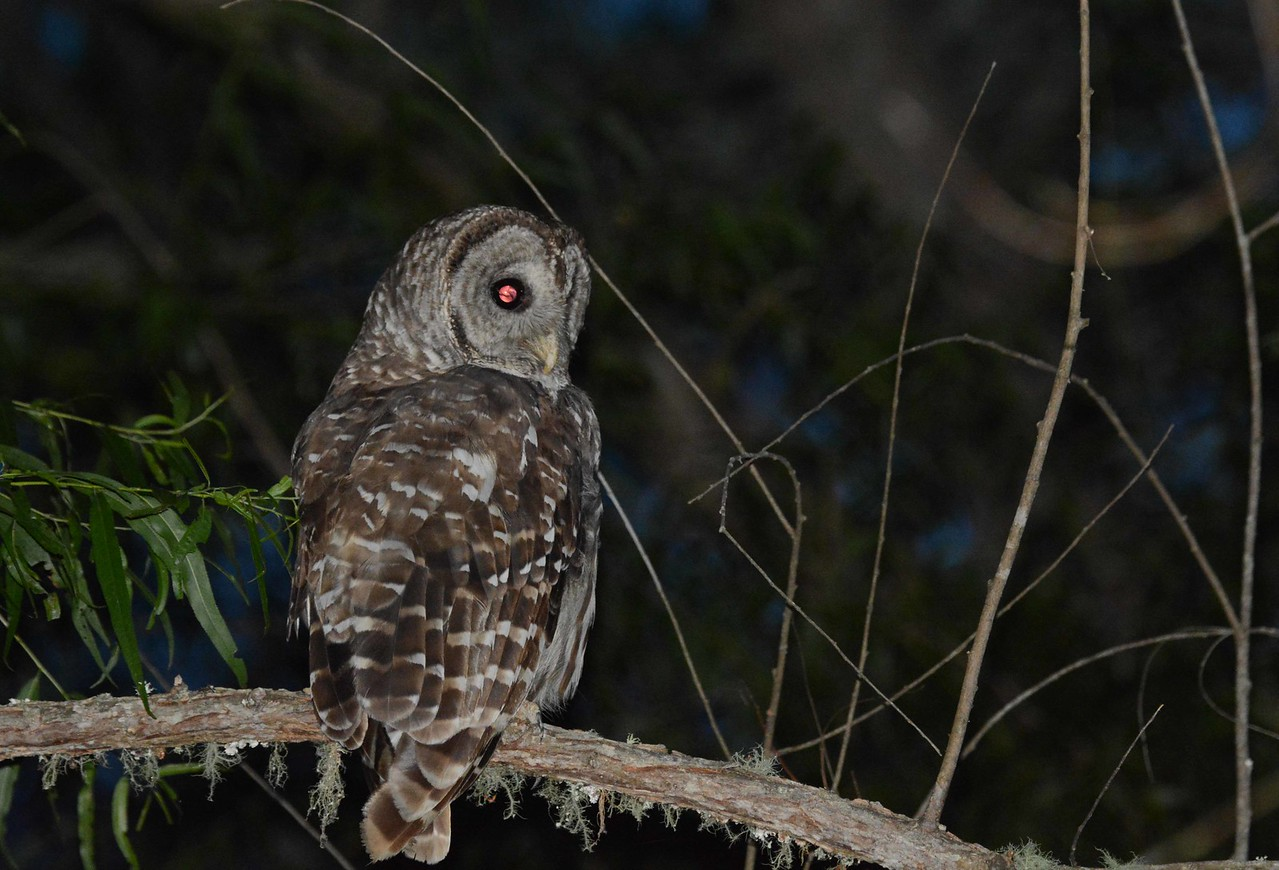 """Barred Owl -- Strix varia, on the hunt as night falls in the Macon Farm Biological Reserve in Durham County<br /> <br /> 'God makes sech nights, all white and still,<br /> Fur'z you can look or listen.' ~ from """"The Bigelow Papers"""" by James Russell Lowell"""