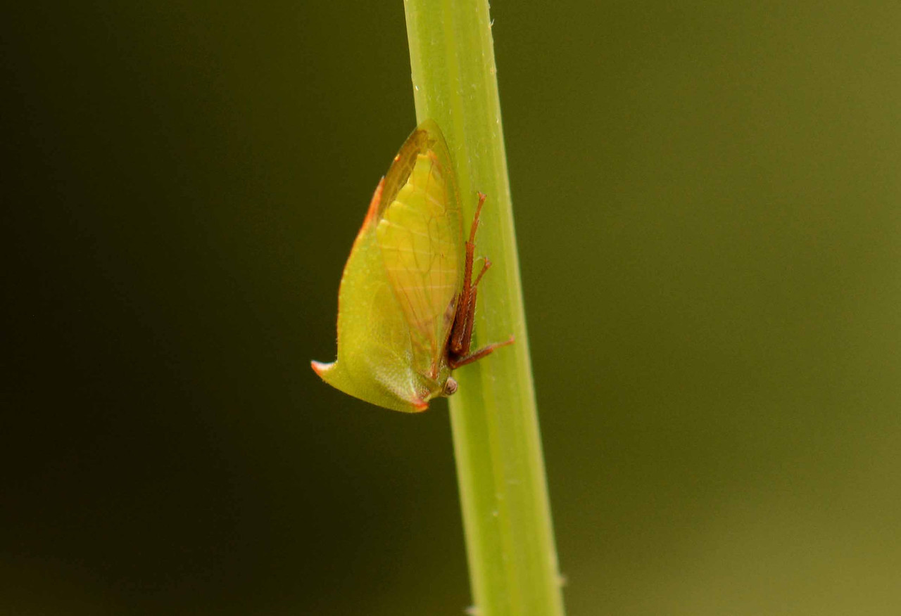 "Buffalo Treehopper -- Stictocephala bisonia, another true bug, family Membracidae, superfamily Fulgoroidea<br /> <br /> 'Your love, your love -- supernatural thing...' ~ Ben E. King, ""Supernatural"""