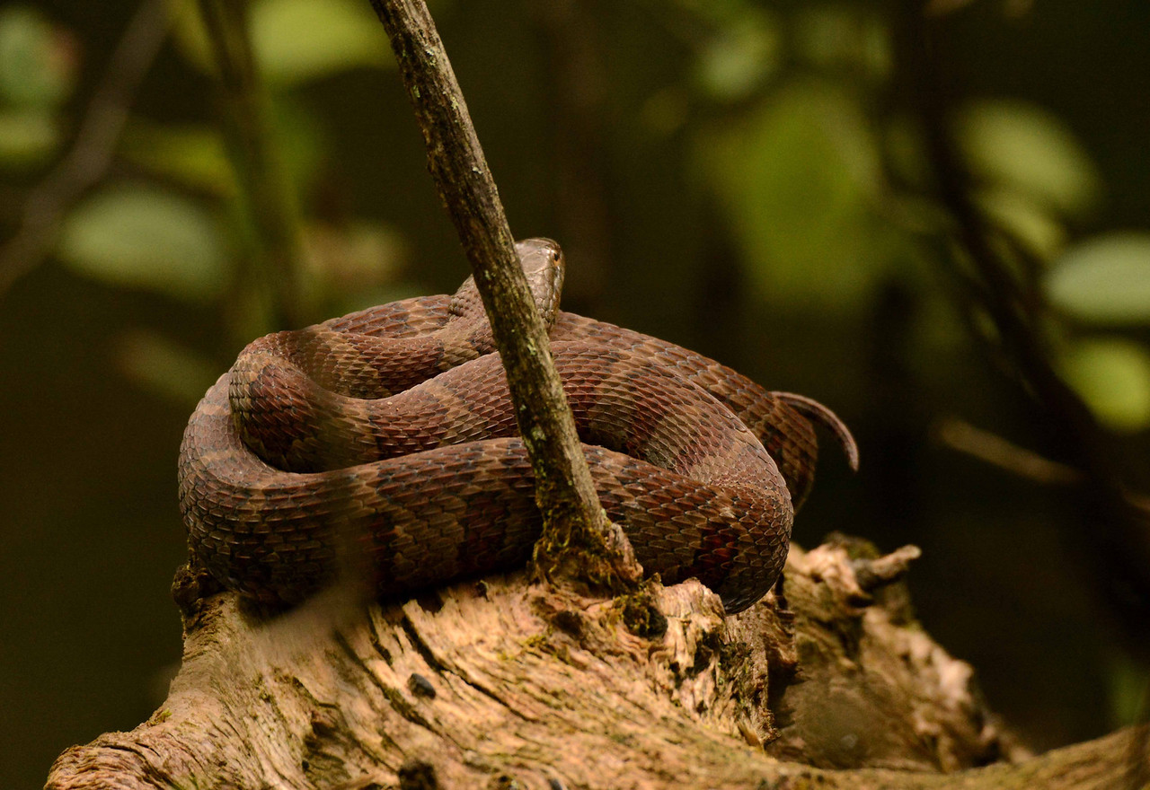 Northern Watersnake -- Nerodia sipedon, curled up on a limb overhanging a creek. Contrary to the name 'sipedon', these beneficial snakes are non-venomous. But snakes have been dealing with human ignorance ever since the metaphor of Eden began its long lament.