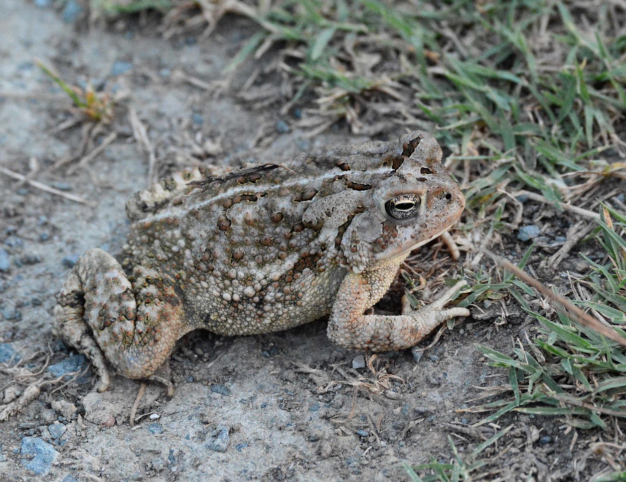 "Toad -- Bufo spp., i think Fowler's Toad -- Bufo woodhousii fowleri<br /> <br /> '...One must make a distinction however: when dragged into prominence by half poets, the result is not poetry, nor till the poets among us can be 'literalists of the imagination' -- above insolence and triviality and can present for inspection, 'imaginary gardens with real toads in them', shall we have it. In the meantime, if you demand on the one hand, the raw material of poetry in all its rawness and that which is on the other hand genuine, you are interested in poetry.' ~ from ""Poetry"" by Marianne Moore, 1921."