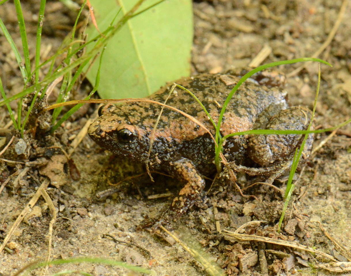 "Eastern Narrowmouth Toad -- Gastrophryne carolinensis, sounds like a bleating sheep. Fold of skin behind the eyes can be shrugged forward to protect eyes from insects, their main prey.<br /> <br /> 'Of all the funny things that live, in woodland, marsh, or bog,<br /> That creep the ground or fly the air, the funniest thing's a frog.' ~ unknown, ""The Scientific Frog"", 1860s."