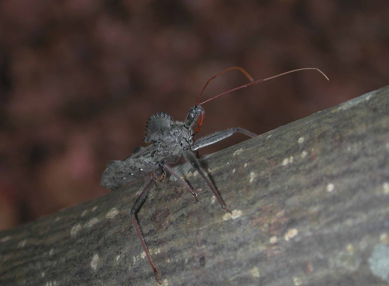 "Wheel Bug -- Arilus cristatus<br /> <br /> 'The old man in a shimmy, his arms <br /> blotched in bruises, inches bearfoot<br /> down the hall, his head tickling<br /> <br /> in the deep stoop:<br /> the orderly, slowly behind,<br /> too many tasks ahead, swoops<br /> <br /> the old man up in his arms,<br /> and the little old man flies,<br /> astonished as a stricken bird:<br /> <br /> at the radial desk, centralizing<br /> the wings, the nurses look on<br /> the bright side not to see too much.' ~ ""Prey"" by A R Ammons"