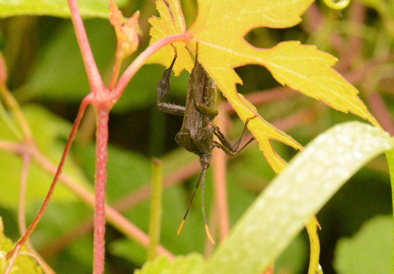 "Leaf-footed Bug (adult) -- Acanthocephala terminalis, feeds mainly on plant juices <br /> <br /> ""Bug"" in true entymological terms refers to the group of insects equipped with syringe-like beaks."