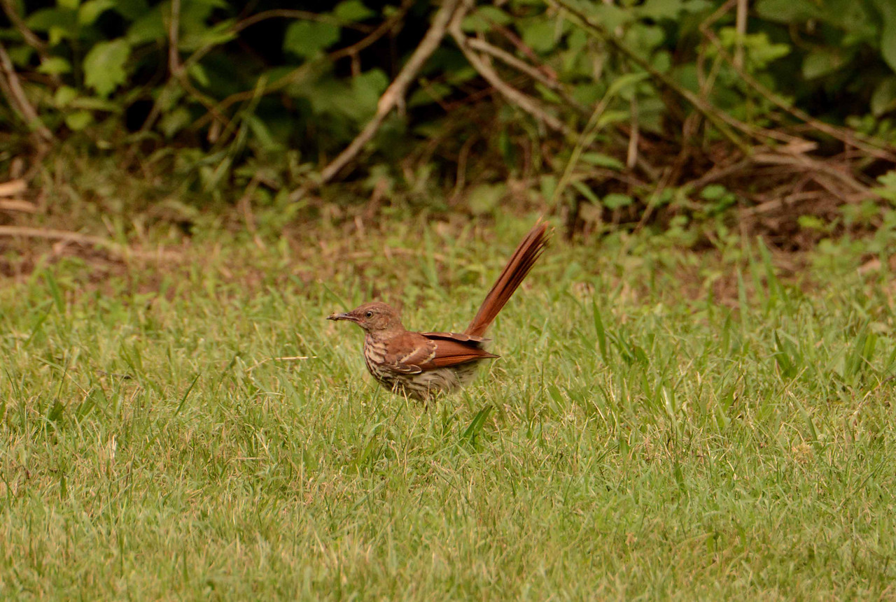 "Brown Thrasher -- Toxostoma rufum<br /> <br /> ""On earth there is no heaven, but there are pieces of it."" ~ Jules Renard"