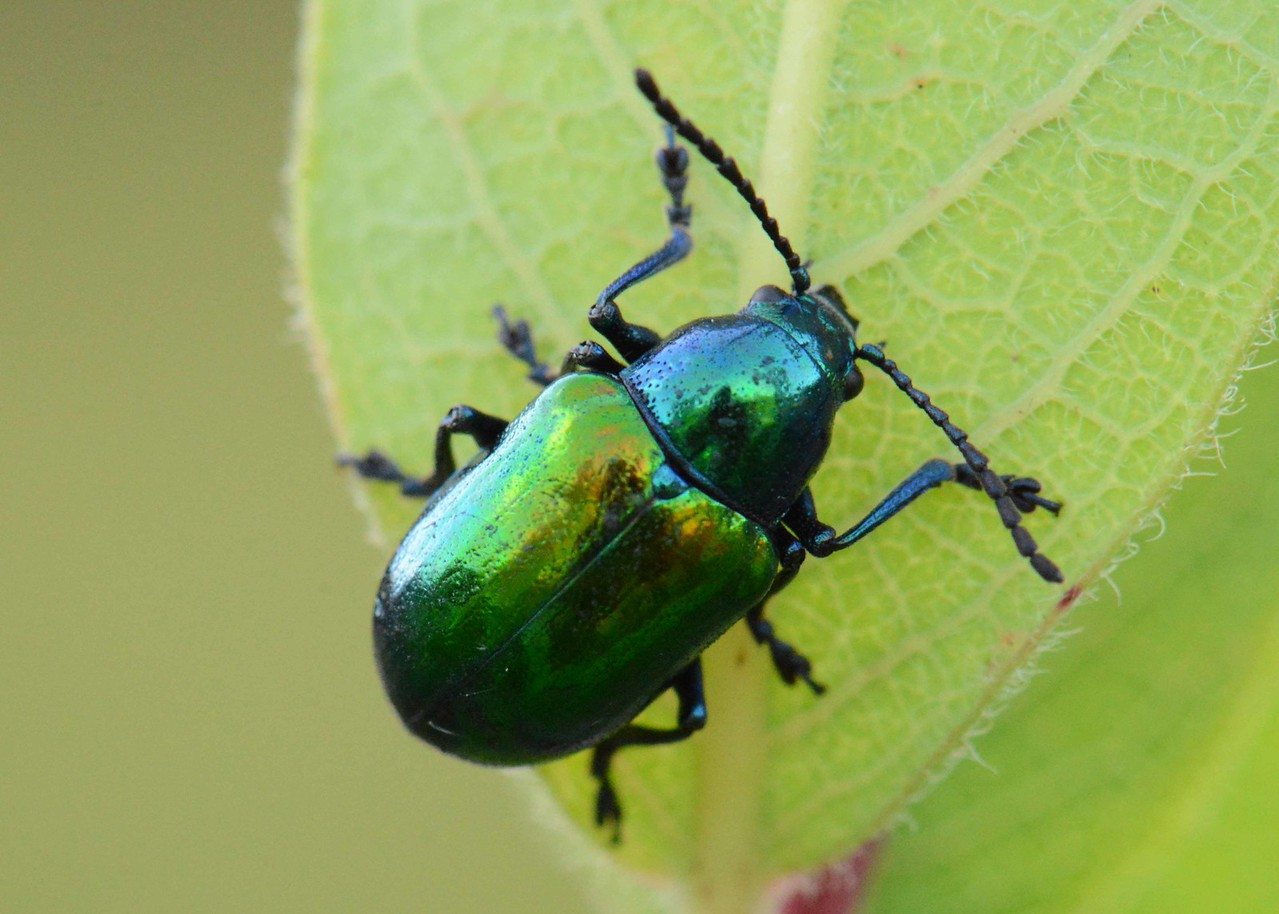 "Dogbane Beetle -- Chrysochus auratus, Leaf Beetle Family Chrysomelidae<br /> <br /> ""You don't take eyes for granted if you grew up with a mother who lost her sight when you were eight.  You begin to not only look more carefully for yourself, but also to look for her -- to see for her what she once saw and loved, and to make your description of what you see for her as real as you can."" ~ David Brower, founder, Friends of the Earth"