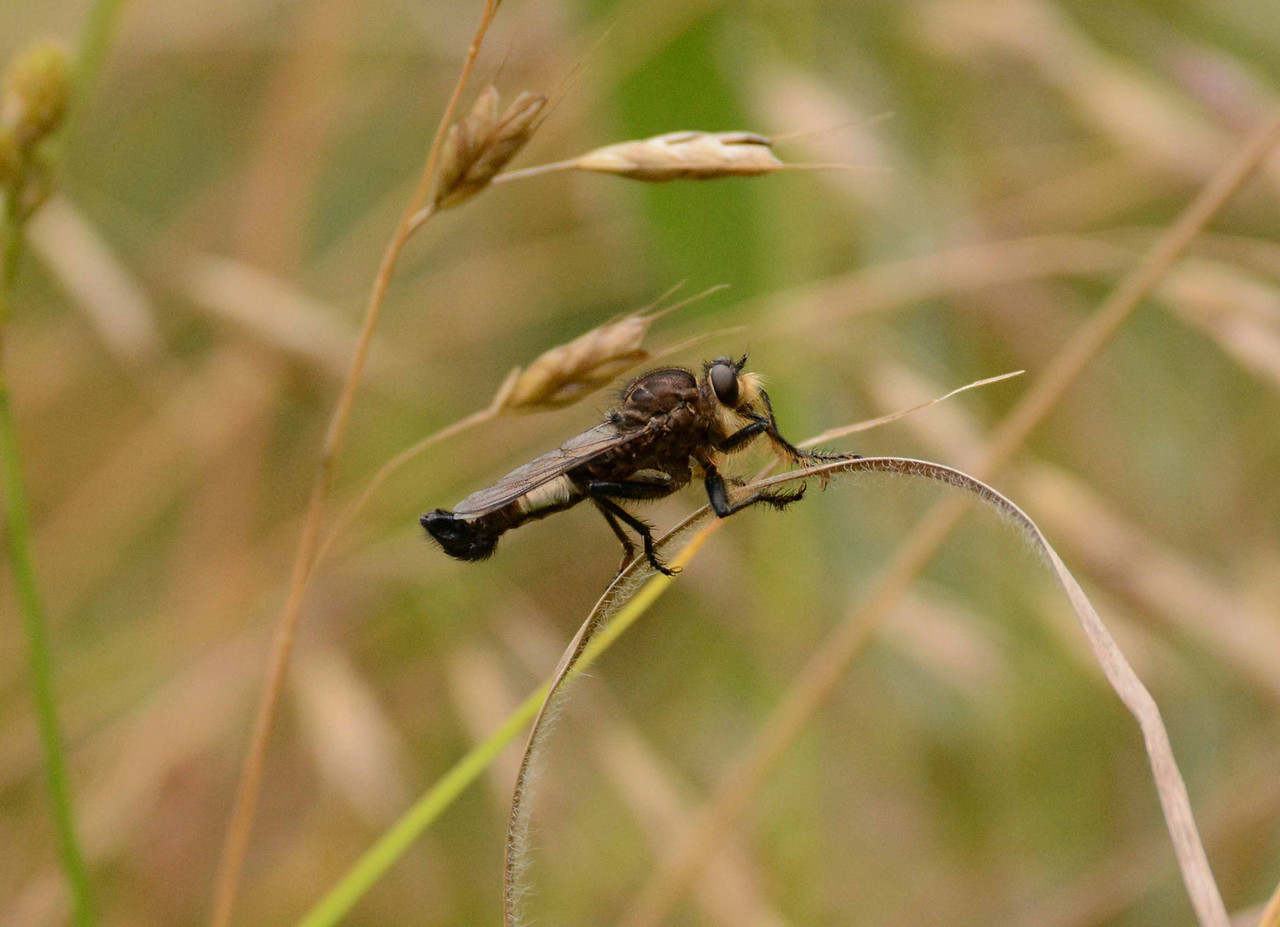"Robber Fly (m) -- Family Asilidae. Efferia spp.?<br /> <br /> '...And what I assume you shall assume<br /> For every atom belonging to me as good belongs to you.<br /> I loafe and invite my soul,<br /> I lean and loafe at my ease observing a spear of summer grass...' ~ Whitman, ""Song of Myself""."