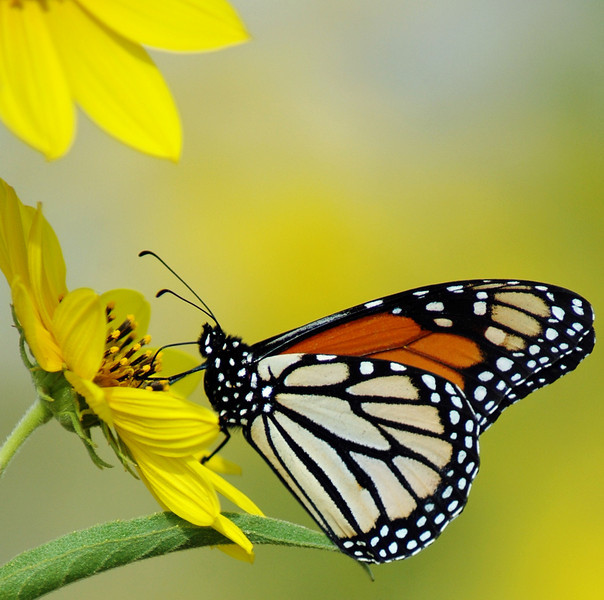 Cropped photo of Monarch Butterfly