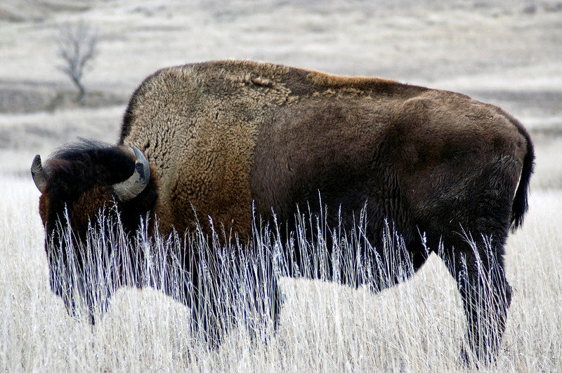 Male Buffalo standing still in the long grass
