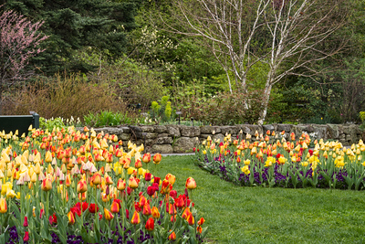 pagere 44,Masses of tulips interplanted with pansies adorn the Pauline Gillespie Gossett Plant Trials Garden in spring.
