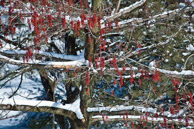 Igiri Tree